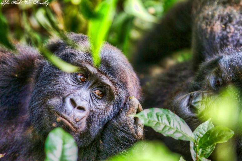 worldviastandby, bwindi, gorilla, mountain gorilla, uganda
