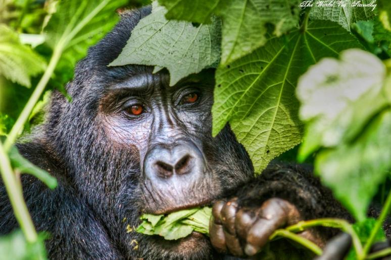 worldviastandby, bwindi, gorilla, mountain gorilla