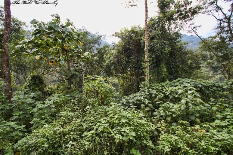 worldviastandby, bwindi, gorilla, mountain gorilla, uganda, buhoma