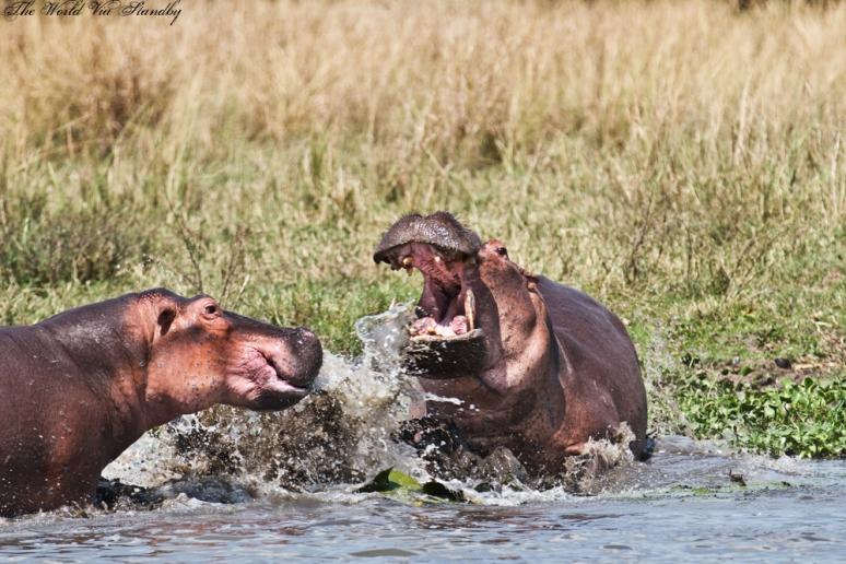 worldviastandby, hippos, africa, wildlife
