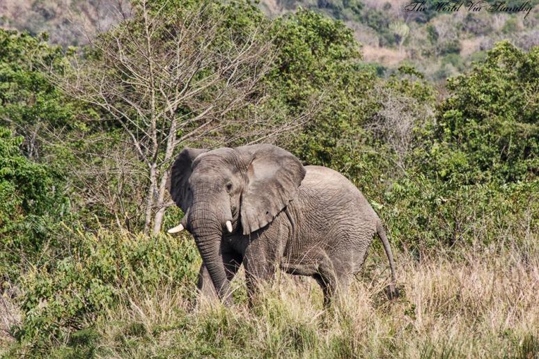 murchison falls, worldviastandby, uganda, africa, elephant