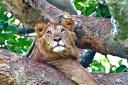 worldviastandby, lion, ishasha, africa, uganda