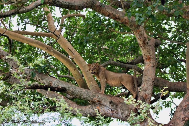worldviastandby, ishasha, uganda, lion